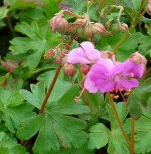 Storchenschnabel Berggarten - Geranium cantabrigiense - Vorschau