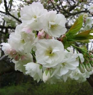 Japanische Maienkirsche Somei Yoshino 60-80cm - Prunus yedoensis - Vorschau