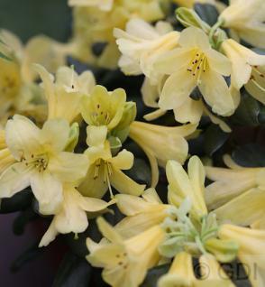 Wild Alpenrose 50-60cm - Rhododendron ambiguum - Vorschau