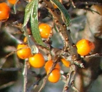 Weiblicher Sanddorn Leikora 60-80cm - Hippophae rhamnoides - Vorschau