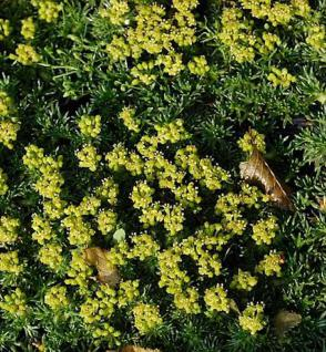 Andenpolster Minor - Azorella trifurcata - Vorschau