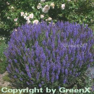 Salbei Blauhügel - Salvia nemorosa - Vorschau
