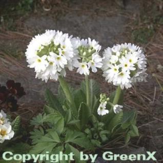 Kugelprimel Alba - Primula denticulata - Vorschau