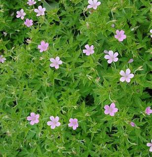 Rosa Storchschnabel - Geranium endressii - Vorschau