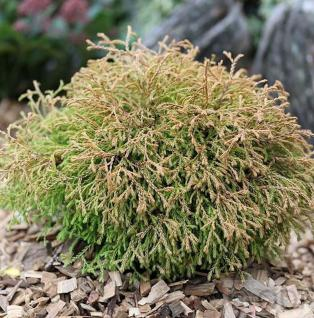 Lebensbaum Golden Tuffet 25-30cm - Thuja occidentalis