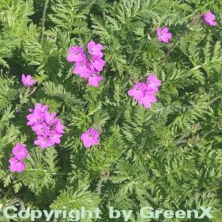 Pyrenäen Reiherschnabel - Erodium manescavii - Vorschau