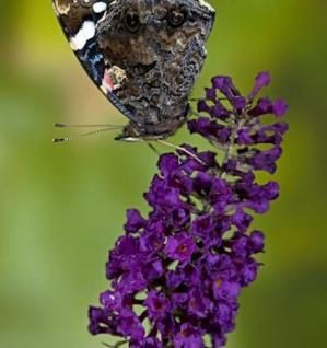 Schmetterlingsstrauch Buzz Midnight 30-40cm - Buddleja - Vorschau