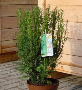 Heckeneibe Westerstede 50-60cm - Taxus baccata