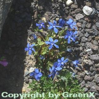 Frühlings Enzian - Gentiana verna - Vorschau