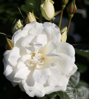 Floribundarose Princess of Wales® 30-60cm - Vorschau