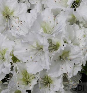 Japanische Azalee Patricia Barmold 15-20cm - Rhododendron luteum - Zwerg Alpenrose - Vorschau