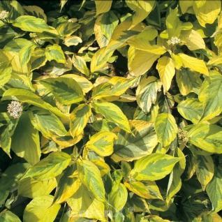Gelbbunter Hartriegel 80-100cm - Cornus alba - Vorschau