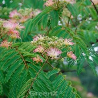 Seidenakazie Ombrella - Schlafbaum 60-80cm - Albizia julibrissin - Vorschau