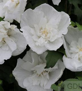 Hochstamm Garteneibisch Diana 60-80cm - Hibiscus - Vorschau