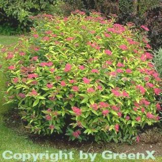 10x Sommerspierstrauch Goldflame 15-20cm - Spiraea japonica - Vorschau
