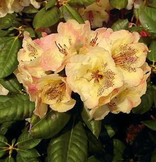 Großblumige Rhododendron Viscy 30-40cm - Alpenrose - Vorschau