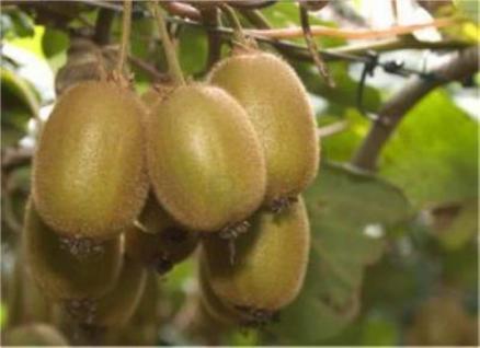 Selbstfruchtende Kiwi Jenny 100-125cm - Actinidia chinensis - Vorschau