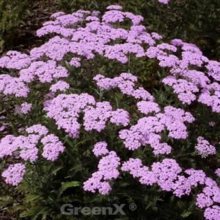 Schafgarbe Lilac Beauty - Achillea millefolium - Vorschau