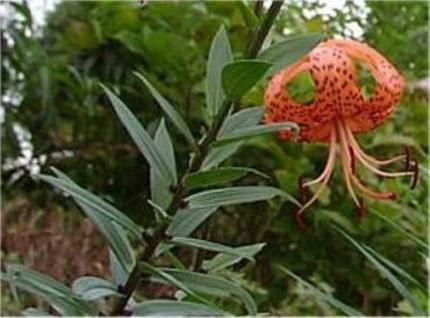 Tiger Lilie - Lilium lancifolium - Vorschau