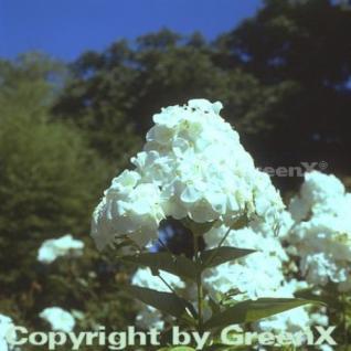 Hohe Flammenblume Pax - Phlox Paniculata - Vorschau