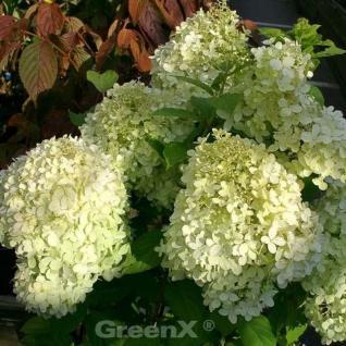 Rispen Hortensie Annabelle 40-60cm - Hydrangea paniculata - Vorschau