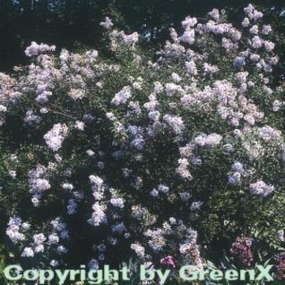 Persische Flieder 60-80cm - Syringa persica - Vorschau