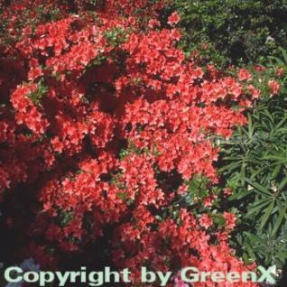 Japanische Azalee Geisha Orange 15-20cm - Rhododendron obtusum - Alpenrose - Vorschau