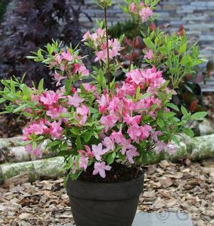 Azalee Rosata 30-40cm - Rhododendron luteum - Alpenrose - Vorschau