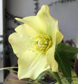 Christrose Yellow Lady - Helleborus orientalis - Vorschau