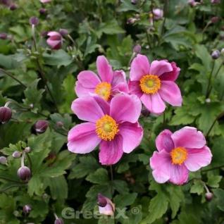 Japanische Herbstanemone Hadspen Abundance - Anemone hupehensis - Vorschau