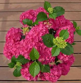 Bauernhortensie Hot Red 40-60cm - Hydrangea macrophylla - Vorschau