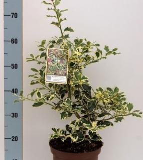 Alaska Stechpalme Ilex Silver Queen 25-30cm - Ilex aquifolium - Vorschau
