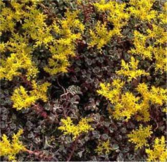 Fetthenne Purpureum - Sedum spathulifolium - Vorschau