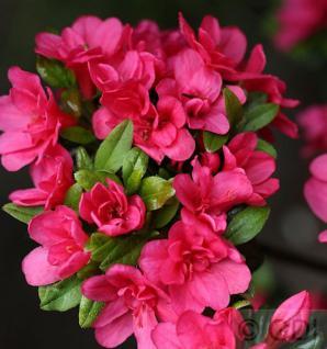 Japanische Azalee Änne 20-25cm - Rhododendron obtusum - Vorschau