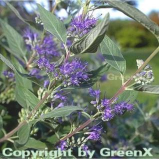 Bartblume Heavenly Blue 30-40cm - Caryopteris clandonensis - Vorschau