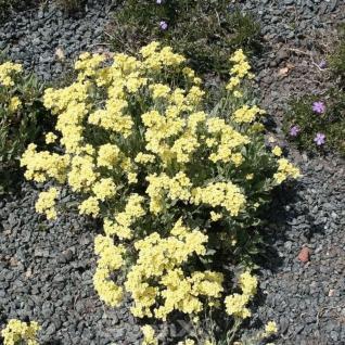 Steinkraut Sulphureum - Alyssum saxatile - Vorschau