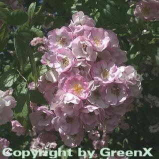 Kletterrose Apple Blossom 30-60cm - Vorschau