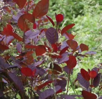 Perückenstrauch Lilla 40-60cm - Cotinus coggygria - Vorschau