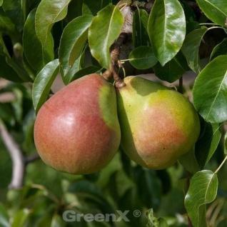 Birne Vereinsdechantbirne 60-80cm - saftige und süßesäuerliche Früchte - Vorschau