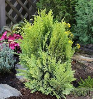 Goldgelbe Gartenzypresse 80-100cm - Chamaecyparis lawsoniana - Vorschau