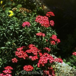 Schafgarbe Desert Red - großer Topf - Achillea millefolium - Vorschau