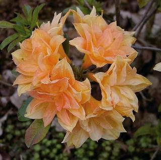 Azalee Csardas 40-50cm - Rhododendron luteum - Alpenrose - Vorschau