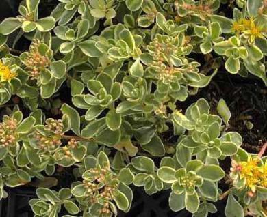 Fetthenne Variegatum - Sedum kamtschaticum - Vorschau