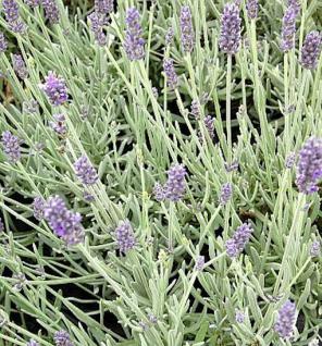 Echter Lavendel Richard Gray - Lavandula angustifolia - Vorschau