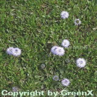Herzförmige Kugelblume - Globularia cordifolia - Vorschau
