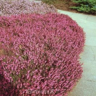 10x Winterheide Vivellii - Erica carnea - Vorschau
