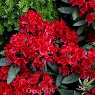 Großblumige Rhododendron Blinklicht 40-50cm - Alpenrose - Vorschau