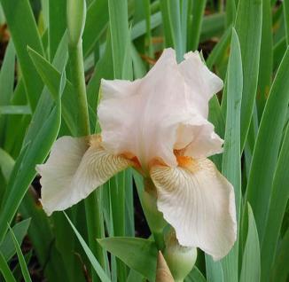 Schwertlilie Constance Wattez - Iris barbata - Vorschau