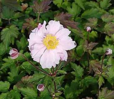 Albadura Anemone Septemberglanz - Anemone tomentosa - Vorschau