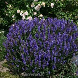 Ziersalbei Sensation Sky Blue - Salvia nemorosa - Vorschau